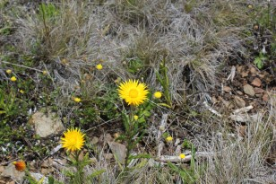 These beautiful yellow paper daisies brighten up our path.
