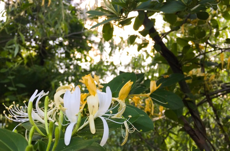 Why Japanese Honeysuckle Should Be Removed From Your Garden