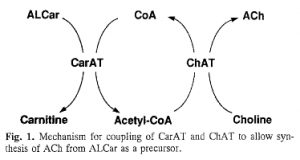 ALCAR choline and L-Carnitine cycle