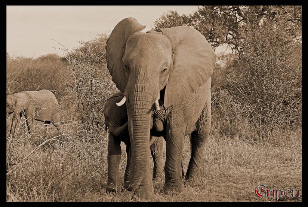 Elephant 2 - PeanutGallery247