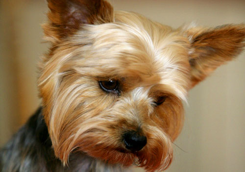 Common Health Problems in Yorkies