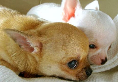 Feeding Schedule for Chihuahua Puppies and Adults