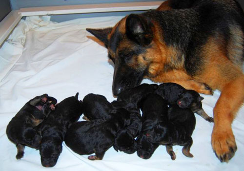Feeding Schedule for German Shepherds Puppies