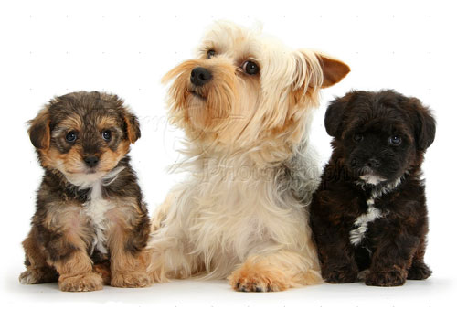 Feeding Schedule for Yorkie Puppies and Adults
