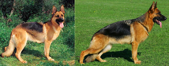 liver german shepherd dog