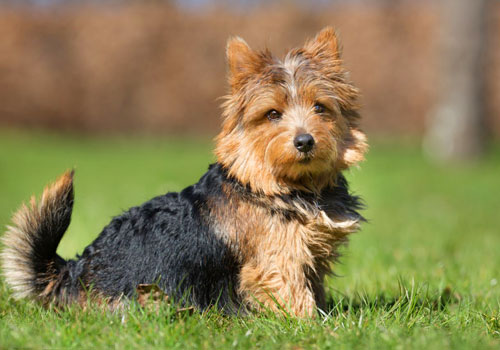 Legg-Perthes Disease in Yorkies