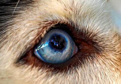 Corneal Dystrophy in Huskies