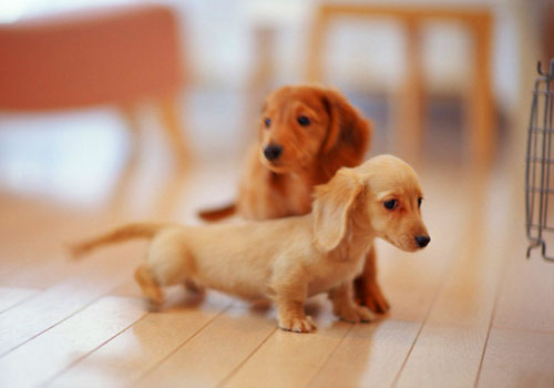 Best Dog Food for Overweight Dachshunds