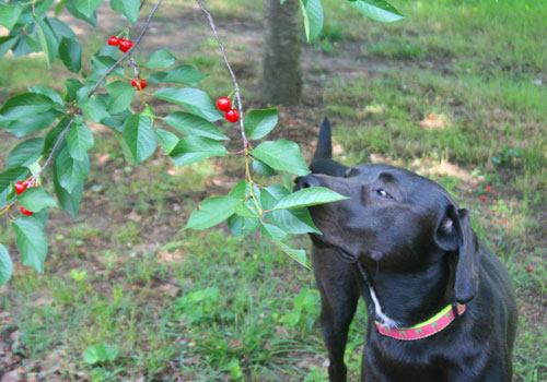 Are Cherries Bad for Dogs