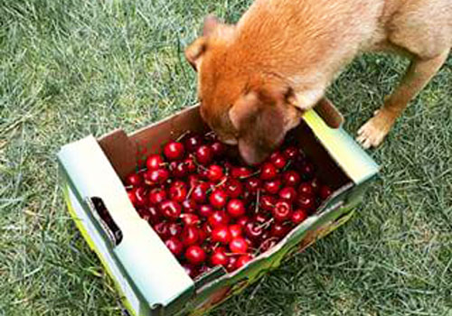 Dogs and Cherries