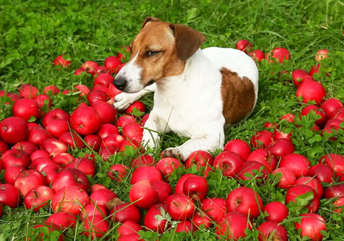 Apples and dogs