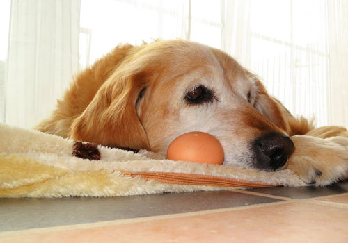 Are Eggs Bad for Dogs