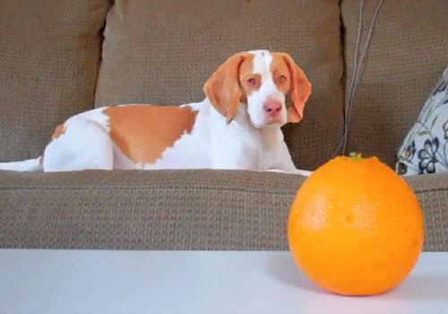 Can dogs eat orange peels