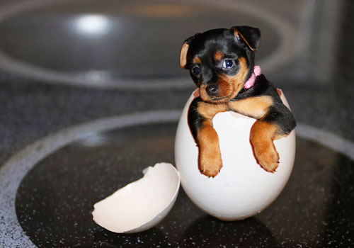 Can Puppies Eat Eggs