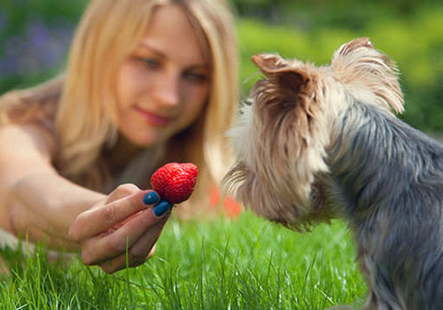 Are Strawberries Bad for Dogs