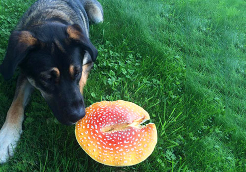 Dog Ate Mushroom From Grocery Store