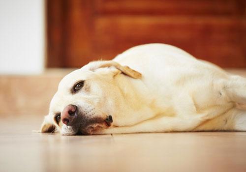 How Much Benadryl for Dog