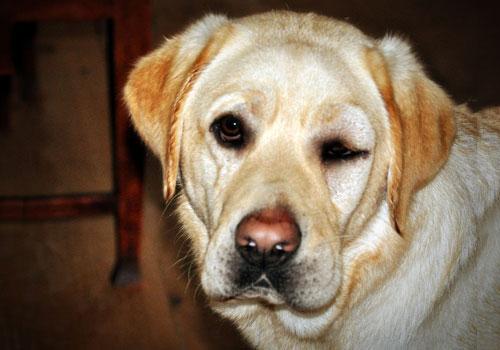 Benadryl for Dogs Dosage