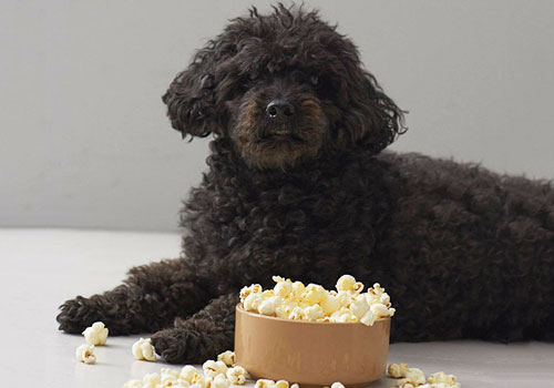 Is Popcorn Bad for Dogs