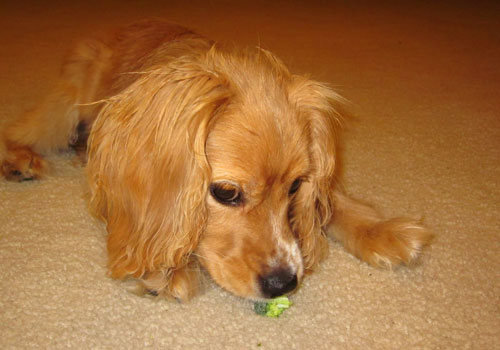 Can My Dog Eat Broccoli