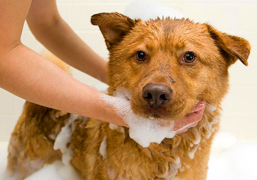 The Best Dog Flea Shampoo That Works