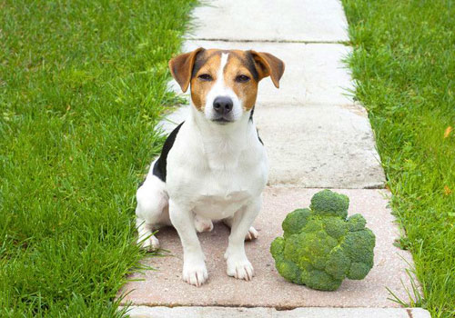 Is Broccoli Bad for Dogs