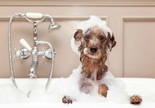 Best Puppy Flea Shampoo