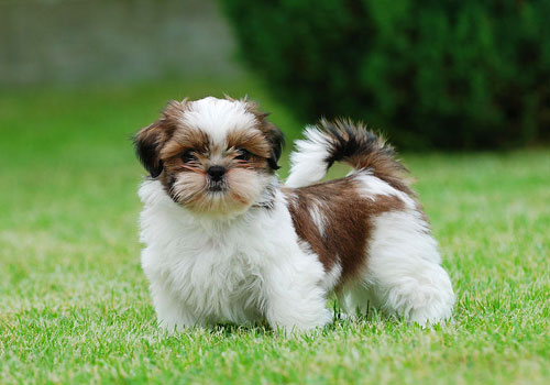 Best Dry Dog Food for Shih Tzu