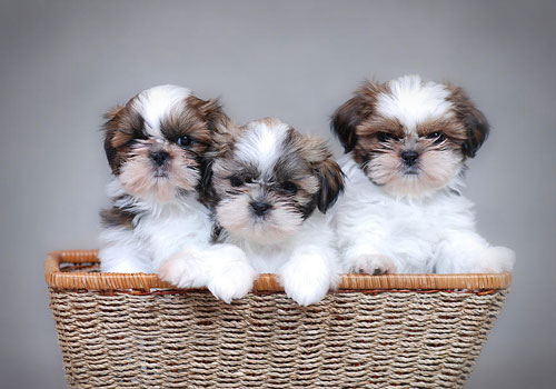 Best Dog Food Brand for Shih Tzu