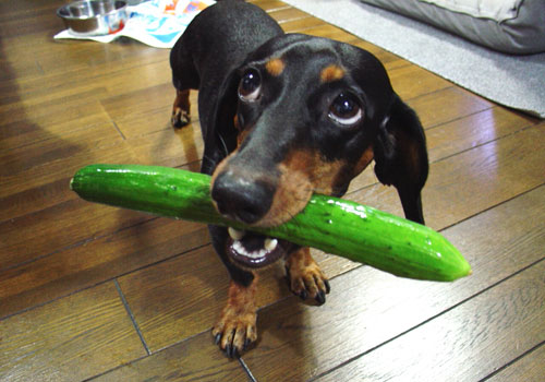 Are Cucumbers Bad for Dogs
