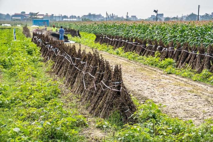 【台南小農】台南黑芝麻田收成,原來黑芝麻這樣採收