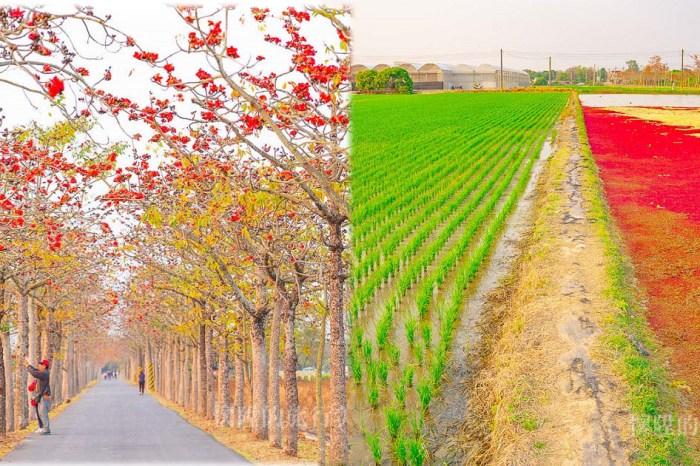【台南景點】好浪漫!在木棉花隧道裡散步,美麗的木棉花道&雙色稻田:白河林初埤木棉花道