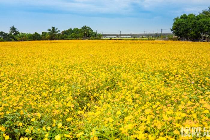滿開了!台南小鎮私房花海,金色浪漫席捲而來 台南後壁花海