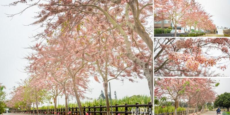 台南賞花 浪漫盛開的粉紅步道,西港金砂里花旗木步道,還有黑芝麻迷宮