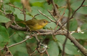 A Wilson's Warbler - maybe. Fall warblers are hard to identify sometimes.