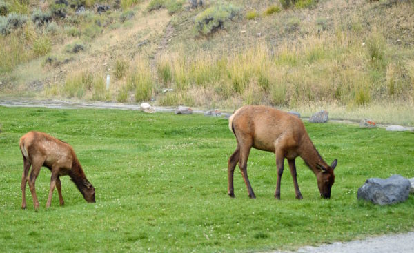 Yellowstone National Park Visitors Guide Elk