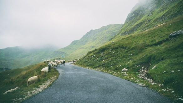 Schafe crossing