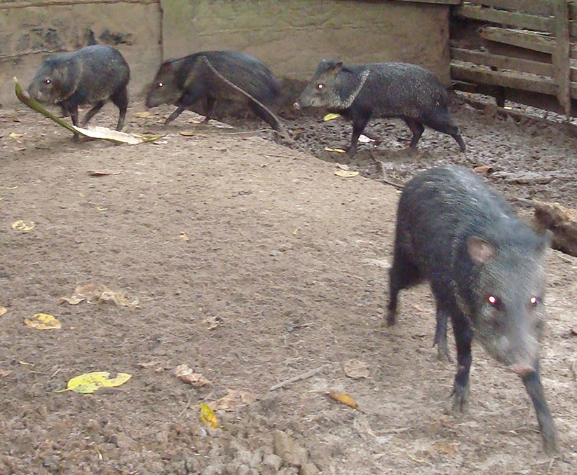peccary-wild-hog-in-their-habitat
