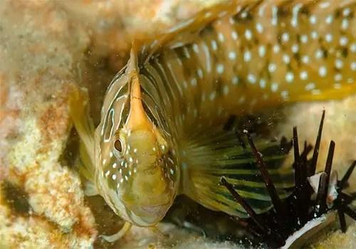 Lypophrys Pavo