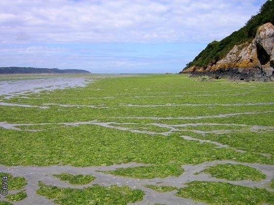Depot-d-algues-vertes-sur-l-estran