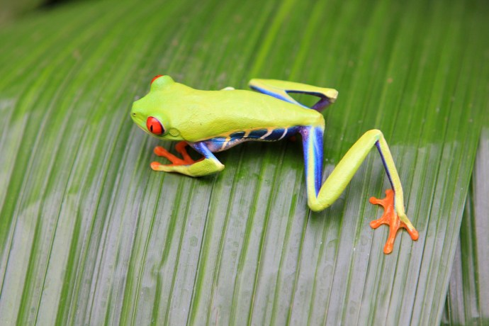 Brilliantly coloured Tree Frogs.