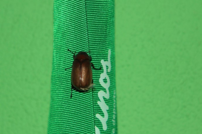 One of the numerous June Bugs. For perspective the ribbon is 1 inch wide.