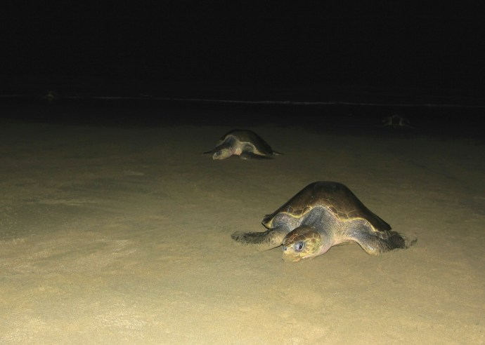 Coming up out of the surf to lay their eggs.
