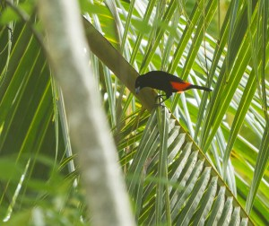 Cherrie's Tanager (male)