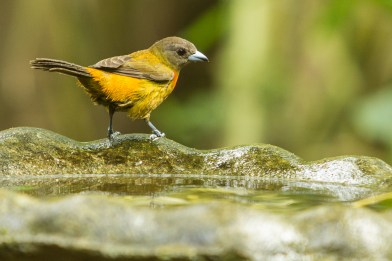 A female Tanager in the bird bath.