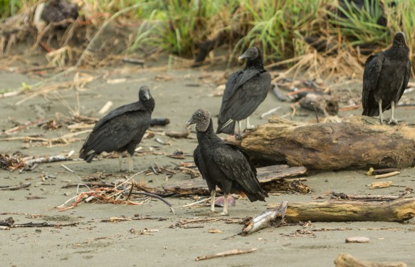 Black Vultures are out nearly every day keeping the beach clean.