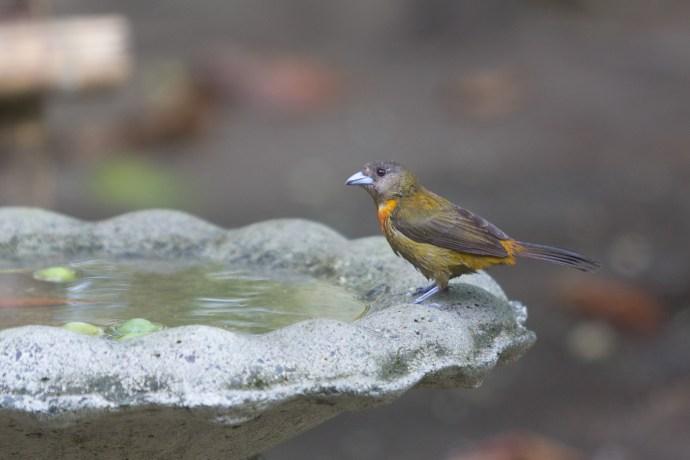 Tanager enjoying the bird bath.