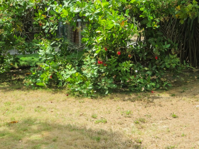 Our cashew tree guarantees a visit from the monkeys.