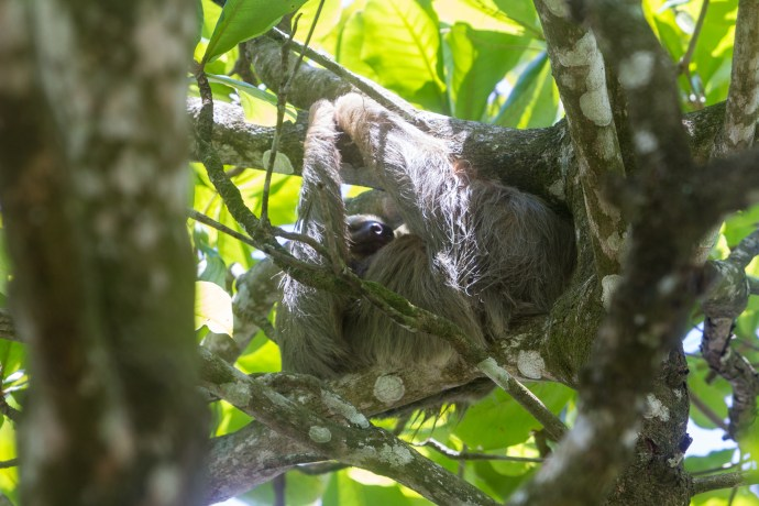 Our sloth from yesterday was still hanging out in the same tree we saw it in yesterday.
