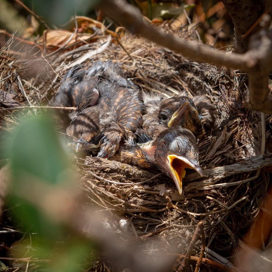 Blackbird Eggs - December 2